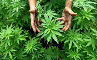 Полезные и вредные свойства марихуаны