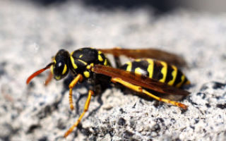 Как правильно оказать первую помощь при укусах осы