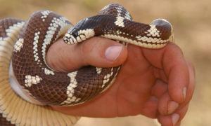 Что необходимо делать при укусе ядовитой змеи