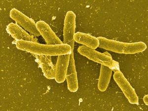 бактерия сальмонеллеза